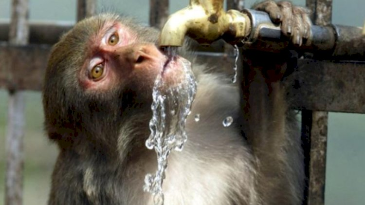 Drunk monkey kills one person and injures 250 more